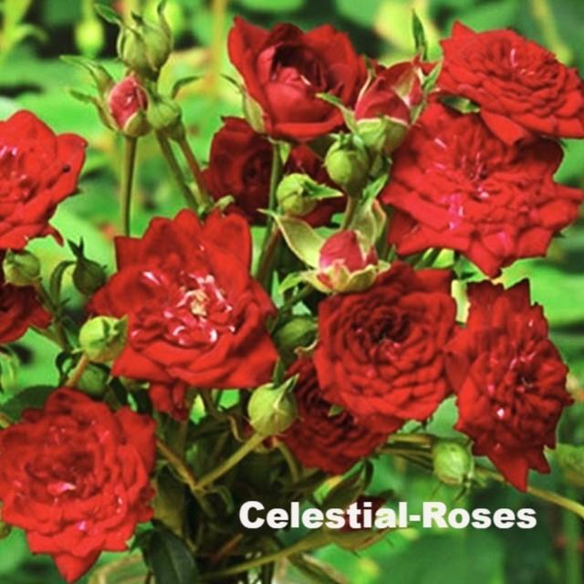 レッドキャスケード Red Cascade ■新苗■※お届けは5月上旬以降