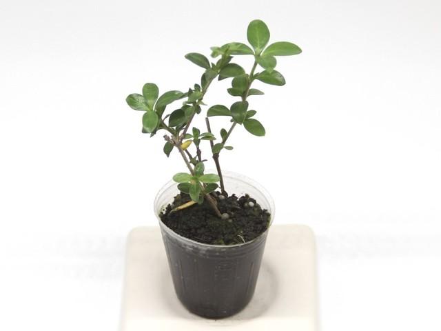 ハクチョウゲ(八重)《苔テラリウム・コケリウム用観葉植物》