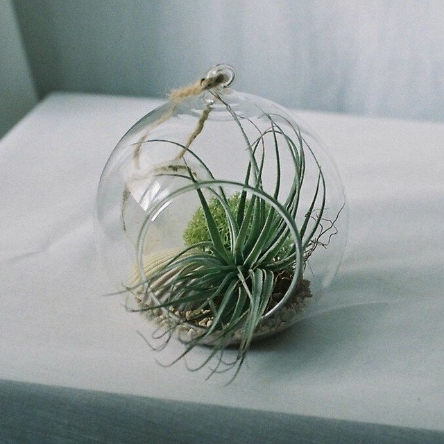 Air plants Terrarium
