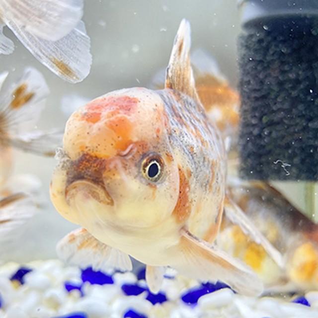 【金魚 生体】五色東錦 中国産 1匹  (11センチ前後/選びなし) 1匹