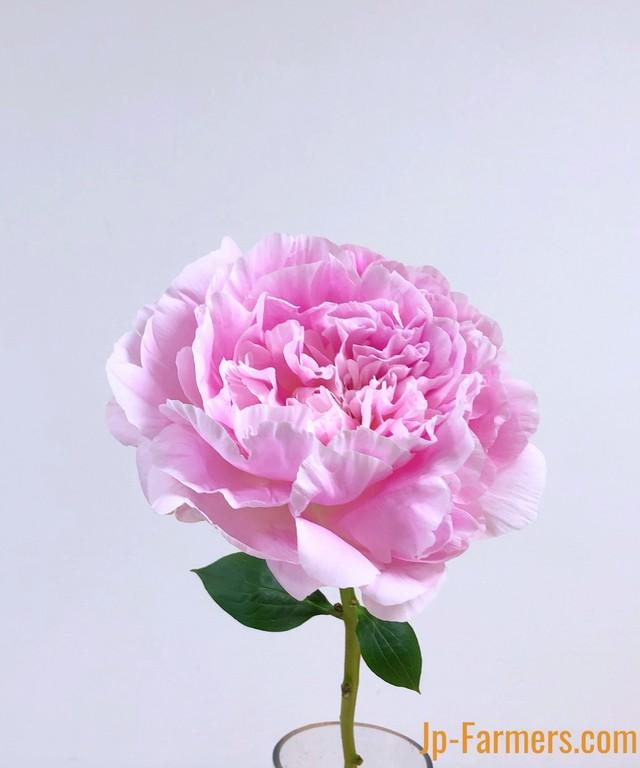 JA北魚沼農協の芍薬 『かぐや姫』大輪 10本 販売