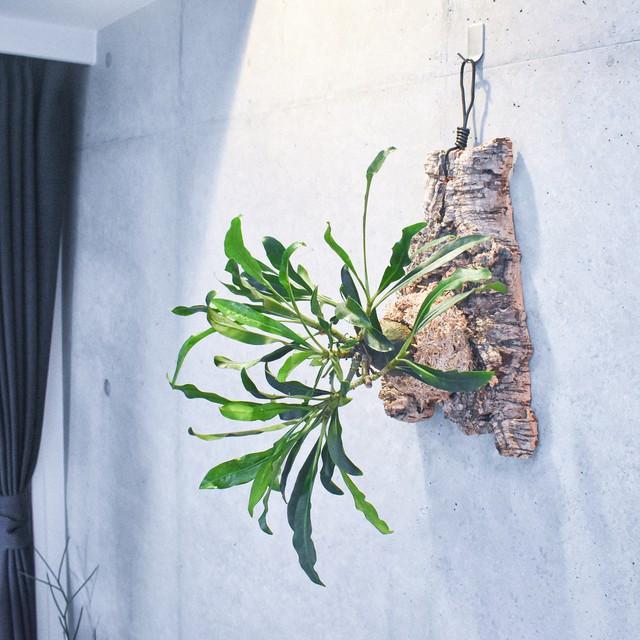 塊根を着生するという特別感 / ミルメフィツム・セレビクム(アリ植物)コルク着生
