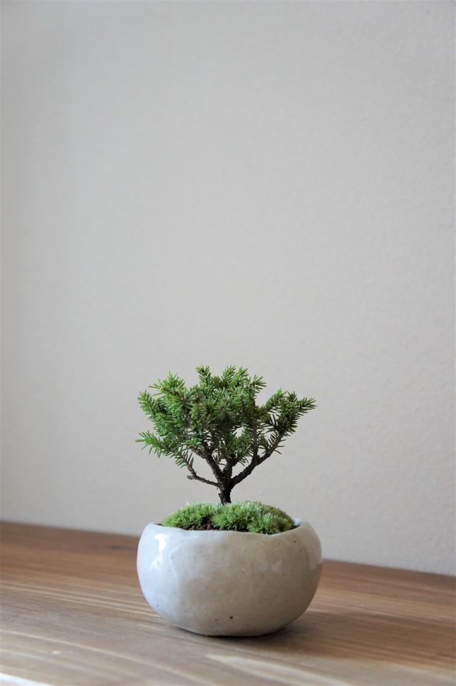 盆栽 モミジ