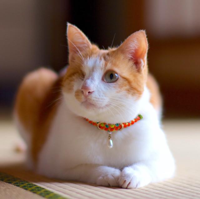 【猫首輪】Sungold サンゴールド