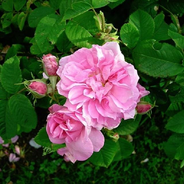 ダマスケナ ビフェラ(カトルセゾン、オータムダマスク) Rosa damascena bifere