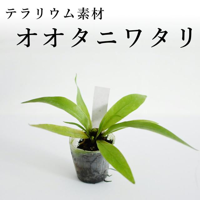 オオタニワタリ(シダ植物) 苔テラリウム作製用素材