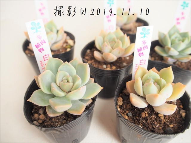 多肉植物 白牡丹 シロボタン(エケベリア属)いとうぐりーん 産直苗 2号