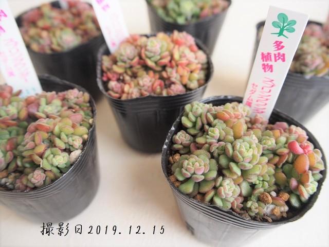 多肉植物 スプリングワンダー(セダム属)いとうぐりーん 産直苗