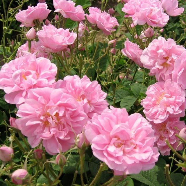 ローズ ド メ (ケンティフォリア ナボナン) Rose de Mai (Centifolia Nabonnand) ■新苗■※お届けは5月上旬以降