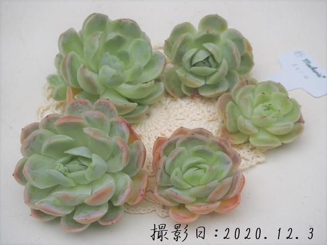 【新品種】エレミル 韓国苗 多肉植物