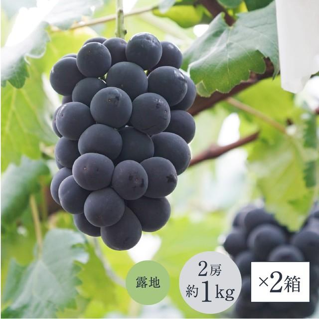 【2箱セット/送料お得】ニューピオーネ露地栽培(1箱あたり約1.0kg, 2房入り)