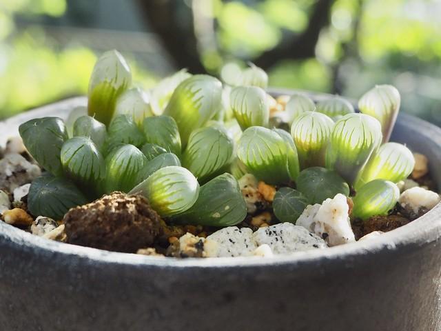 ピリフェラ錦×瓦鉢