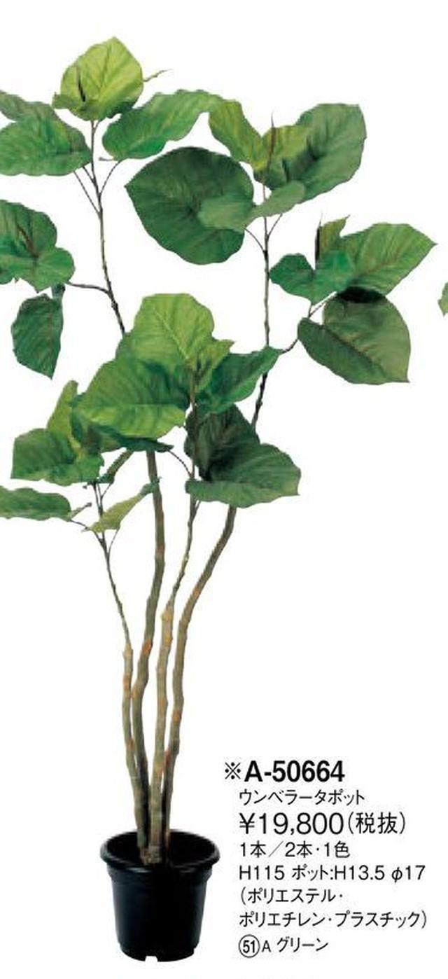 ウンベラータ    花言葉「愛」「永久の幸せ」 高さ:115cm