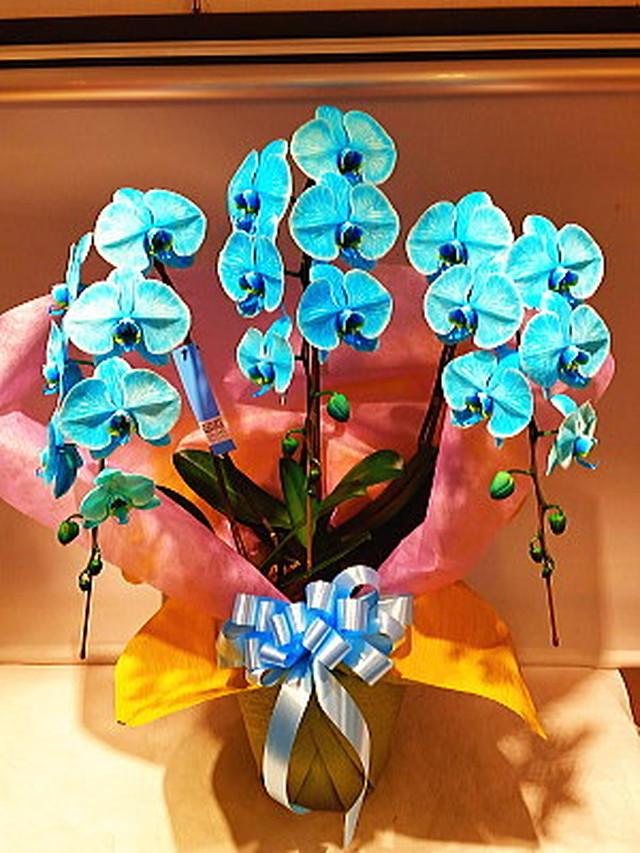 blue-ran001 胡蝶蘭 ブルー3本立