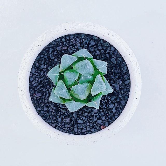 ハオルチア・マスカット Haworthia obtusa 'Muscat' 10/14