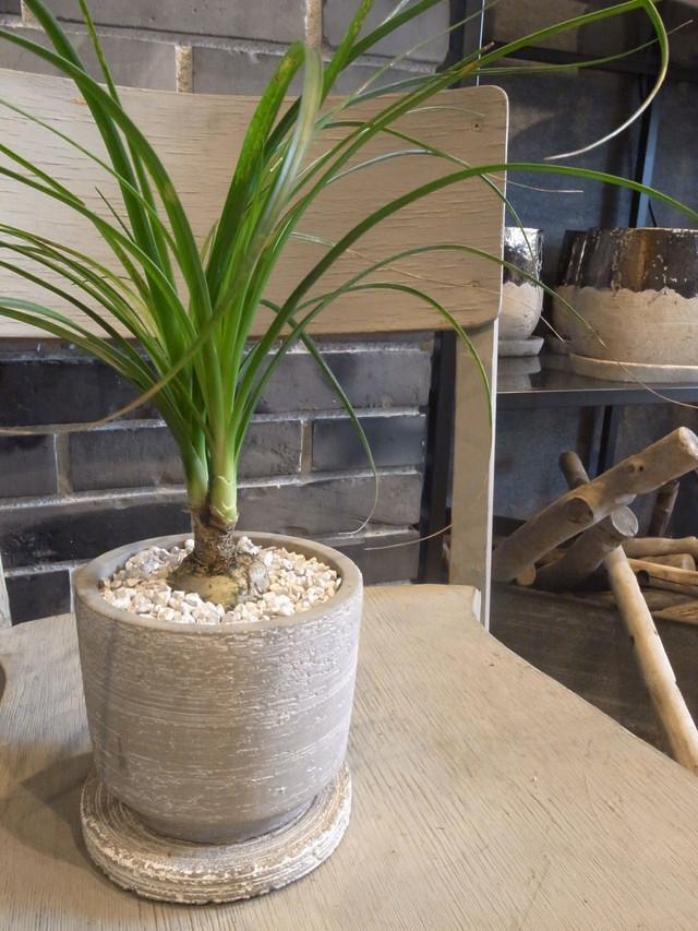 トックリラン(Nolina recurvata):ノリナ、ポニーテール 鉢植えset(白)
