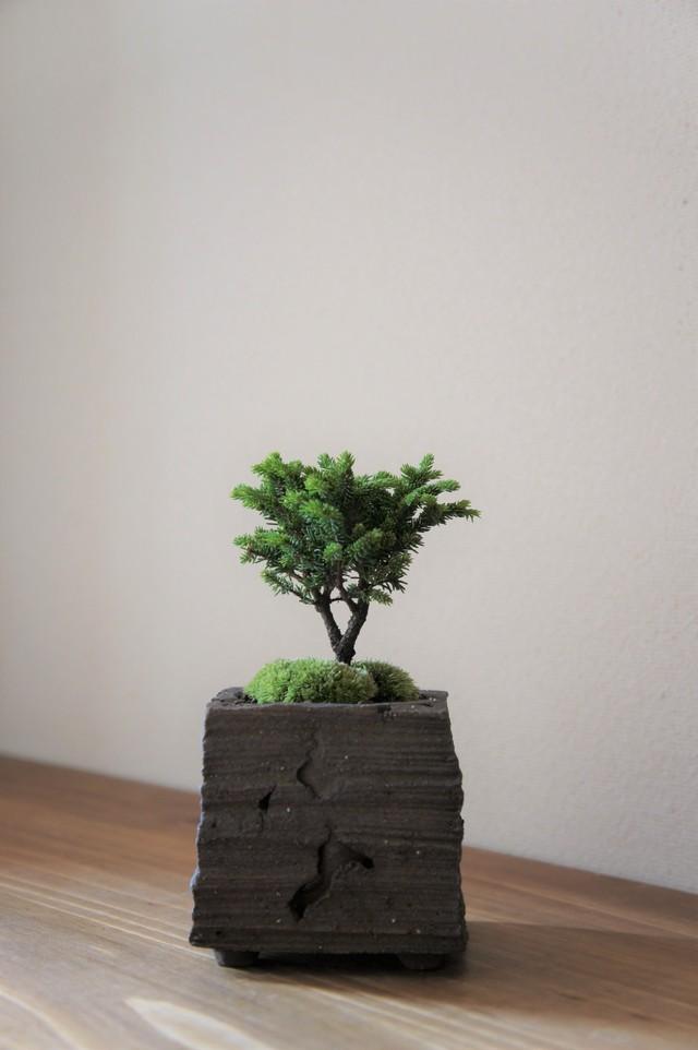 盆栽 旭山桜