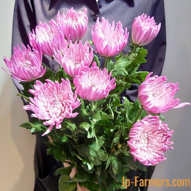 9月9日は『重陽の節句』長寿を願って 菊を飾ろう。 アナスタシアピンク