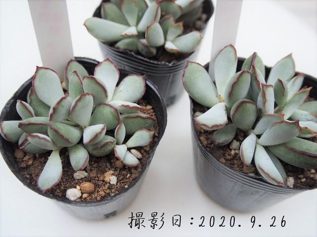 多肉植物 ペンデンス(コチレドン属)いとうぐりーん 産直苗 2号