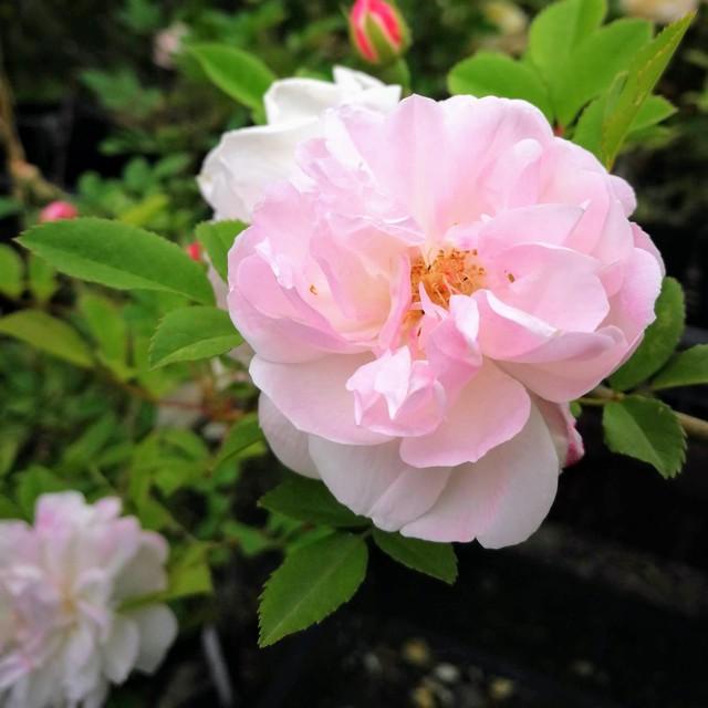 ロサ キネンシス アルバ Rosa chinensis alba