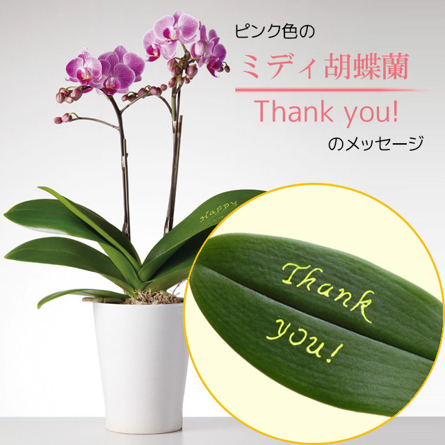Thank you! - ミディ胡蝶蘭2本立.ピンク色