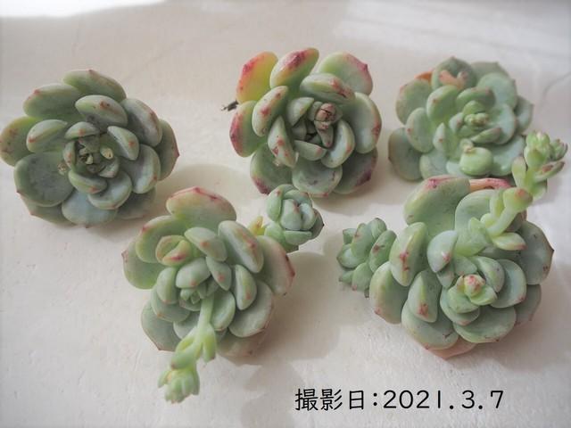 バニラビズ 韓国苗 多肉植物