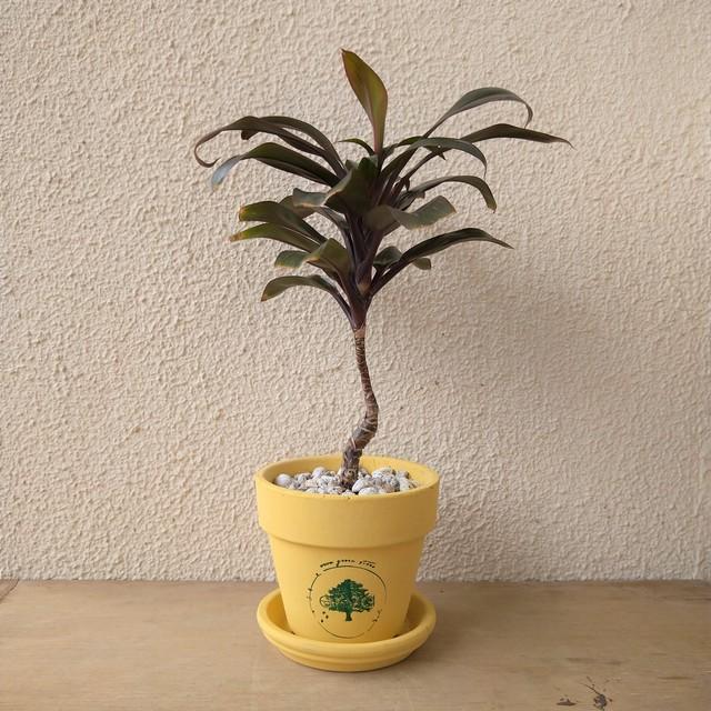 コンパクタ パープル コルディリネ・パープルコンパクタの育て方|観葉植物専門店「ワールドガーデン」
