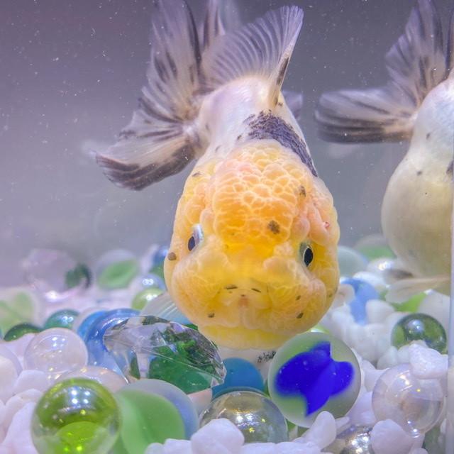 【金魚 生体】キャリコオランダST 1匹  (9-10センチ前後/中国産) 金魚 生体