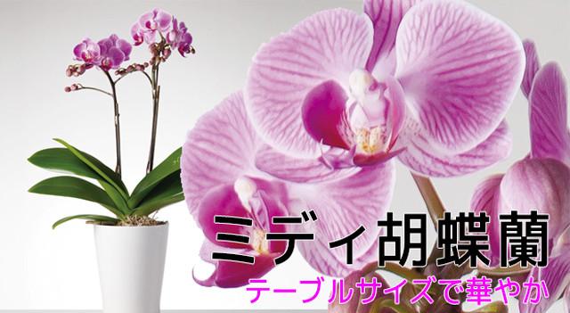 ミディ胡蝶蘭 2本立 白