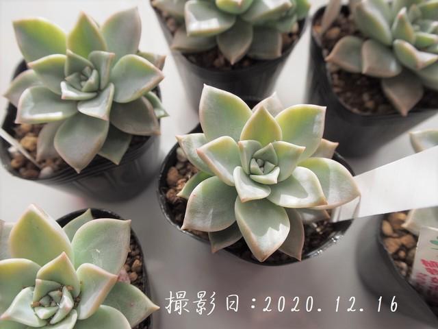 多肉植物 姫おぼろ月(グラプトペダルム属)いとうぐりーん 産直苗 2号