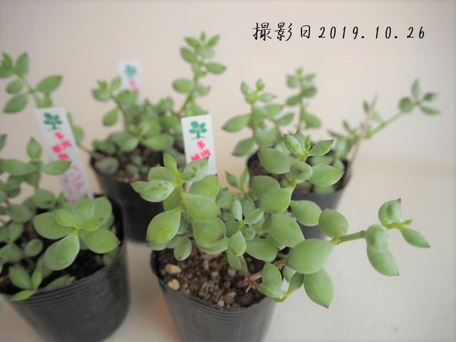 多肉植物 子猫の爪(コチレドン属)いとうぐりーん 産直苗 2号
