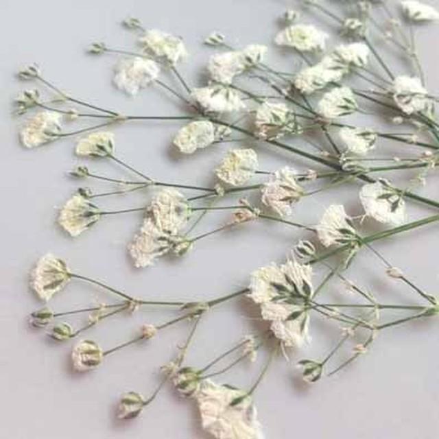 【押し花素材】かすみ草(白)