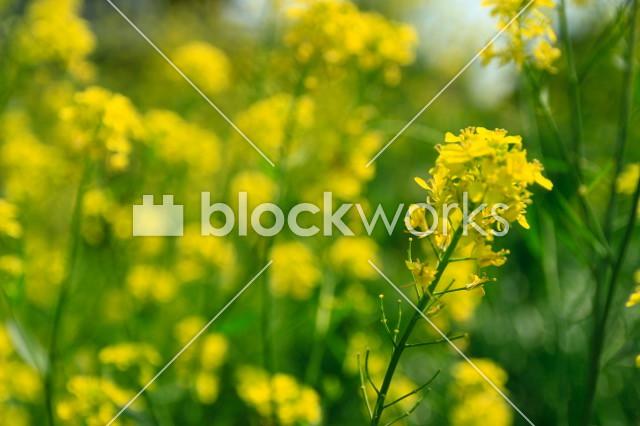 写真素材:春の菜の花001 - メイン画像