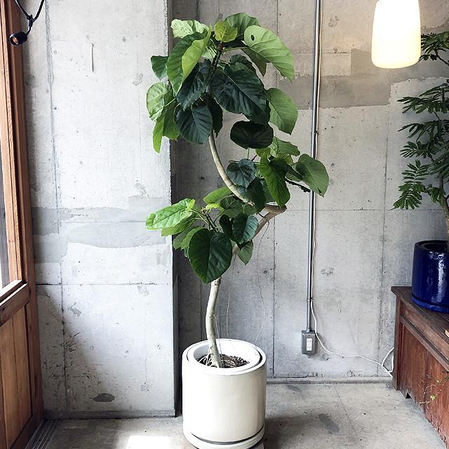 【観葉植物】ドラセナ・カンボジアーナ(店舗直接配送商品・全国配送不可)