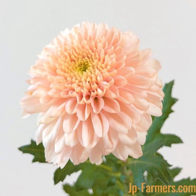 9月9日は『重陽の節句』長寿を願って 菊を飾ろう。 オペラピンク