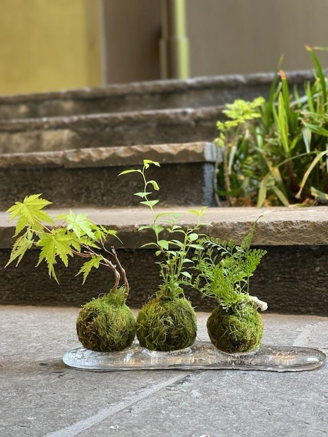 山野草の小さな苔玉A (送料税込)