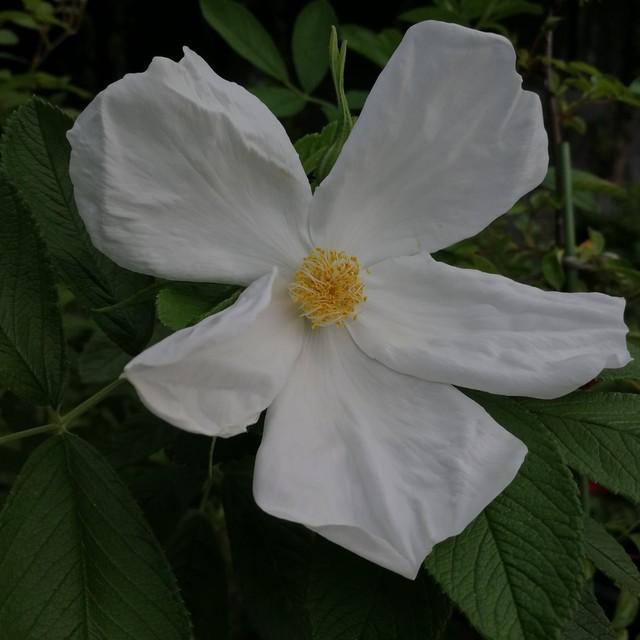 ニベルツ ホワイト Nyveldt's White