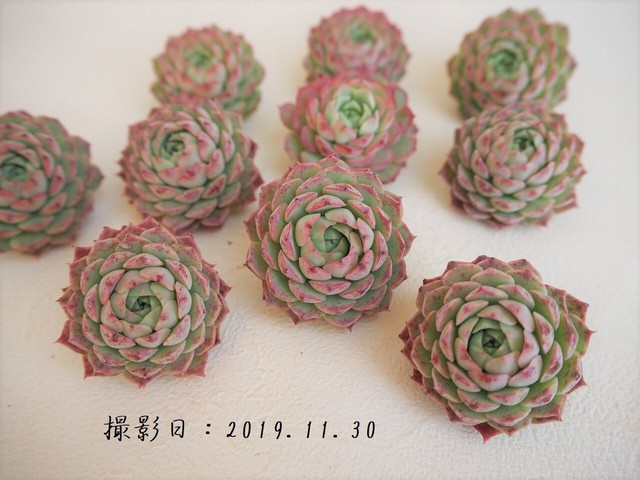 シャルルローズ(エケベリア属)韓国苗 多肉植物 人気品種