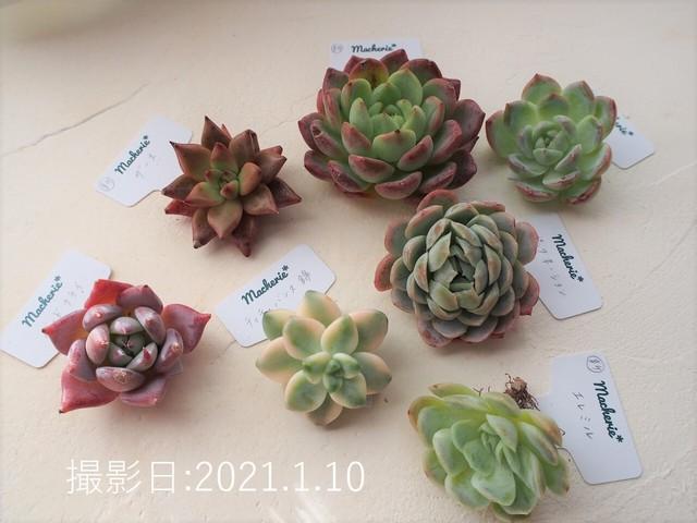 多肉の福箱A(新品種5種&普及種2種セット) 韓国苗 多肉植物