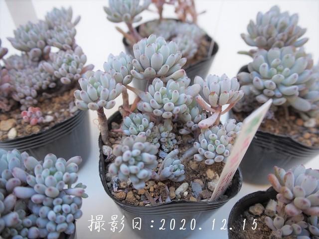 多肉コレクション ブロンズ姫(グラプトペタルム属)2.5号 多肉植物