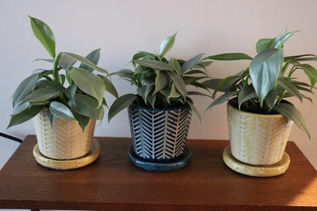 フィロデンドロン シルバーメタル 鉢付き2color