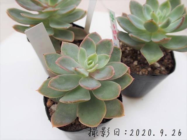 多肉植物 桃娘(エケベリア属)いとうぐりーん 産直苗 2号