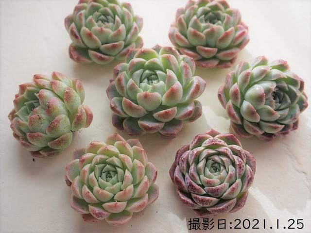 クラウンボール(エケベリア属)韓国苗 多肉植物