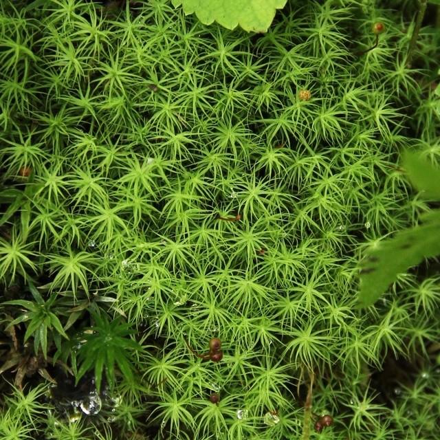 タマゴケ《苔テラリウム・コケリウム用生苔》