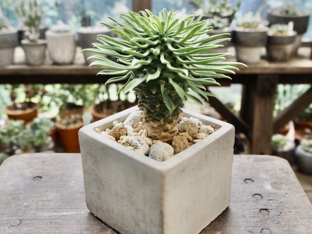 ユーフォルビア・グロボーサ×陶磁器鉢