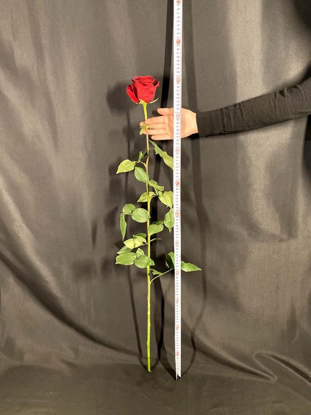 【希少品・当店限定】エクアドル産RED ROSE全長100cm 5本入