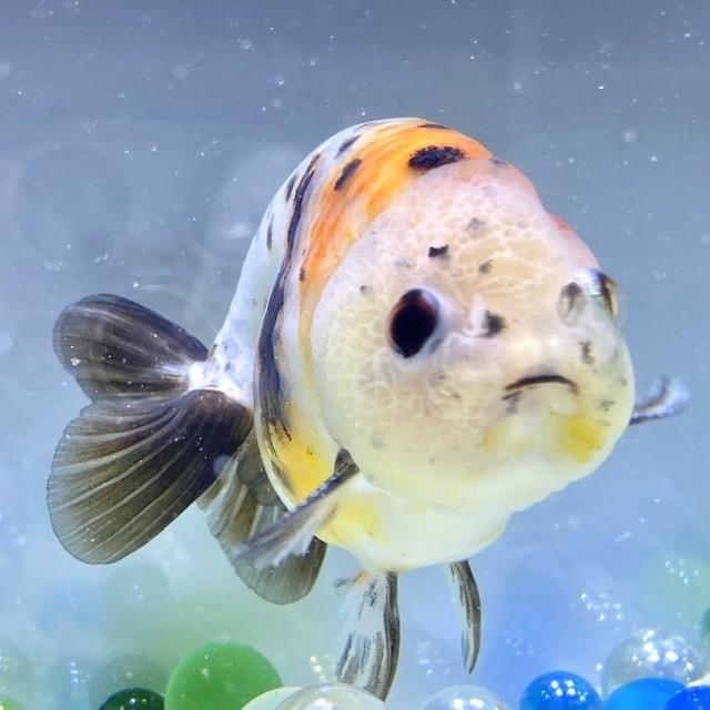 【金魚 生体】江戸錦 1匹  (10-11センチ前後/中国産)