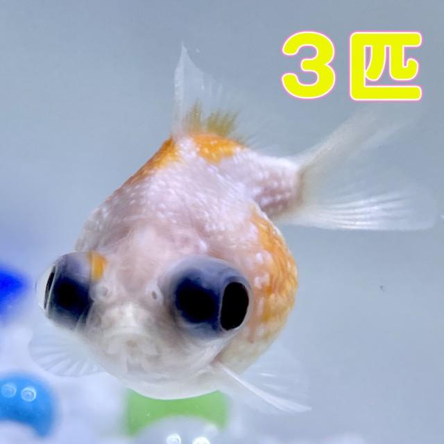 【予約販売】出目ピンポンパール 3匹(選びなし /さらさ/ SAKURAさらさ2021年産)