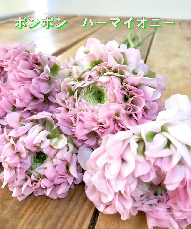 品種選べるポンポン咲きラナンキュラス ★送料無料