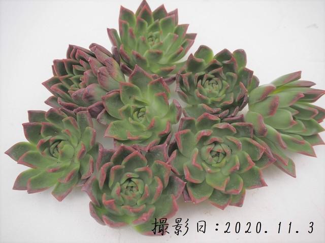 ララピンク 韓国苗 多肉植物